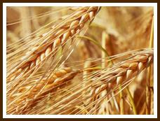 国産小麦について